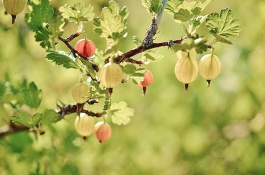 Bærhave besøg og bærplukning