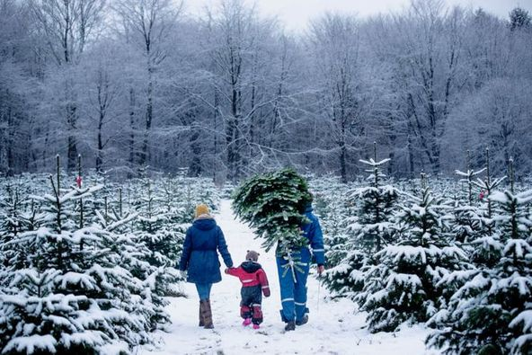 Juletræsfældning